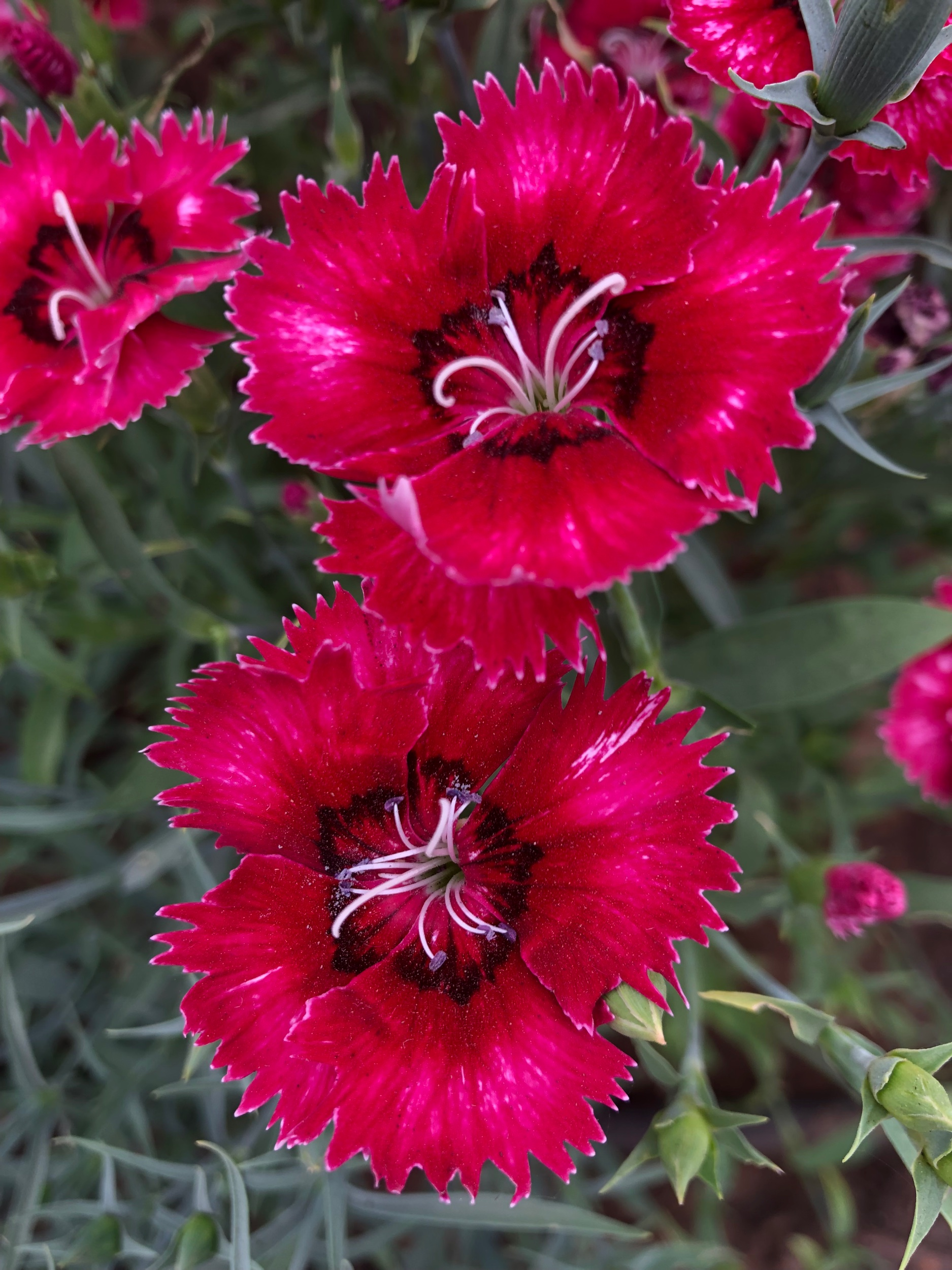 REF:31 'dianthus chinesis'  oeillet de poète, dianthus  flower petals can be scattered over salads, cakes. add a spicy tone to rice, pancakes or in summer drinks.