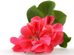 Geranium - floral, sweet, dry
