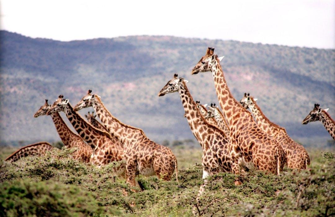 giraffe-wild-wildlife-nature-38534.jpeg