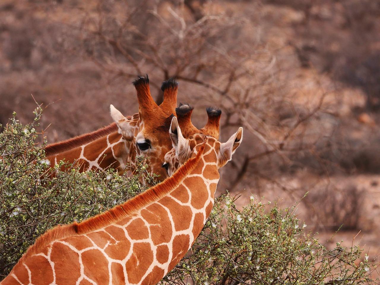 giraffenpaar.jpg