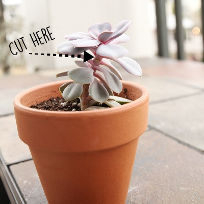 CutElongatedStretchedEcheveria.jpg