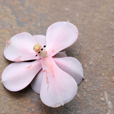 Cut perle von nurnberg echeveria - Leave about an inch of stem