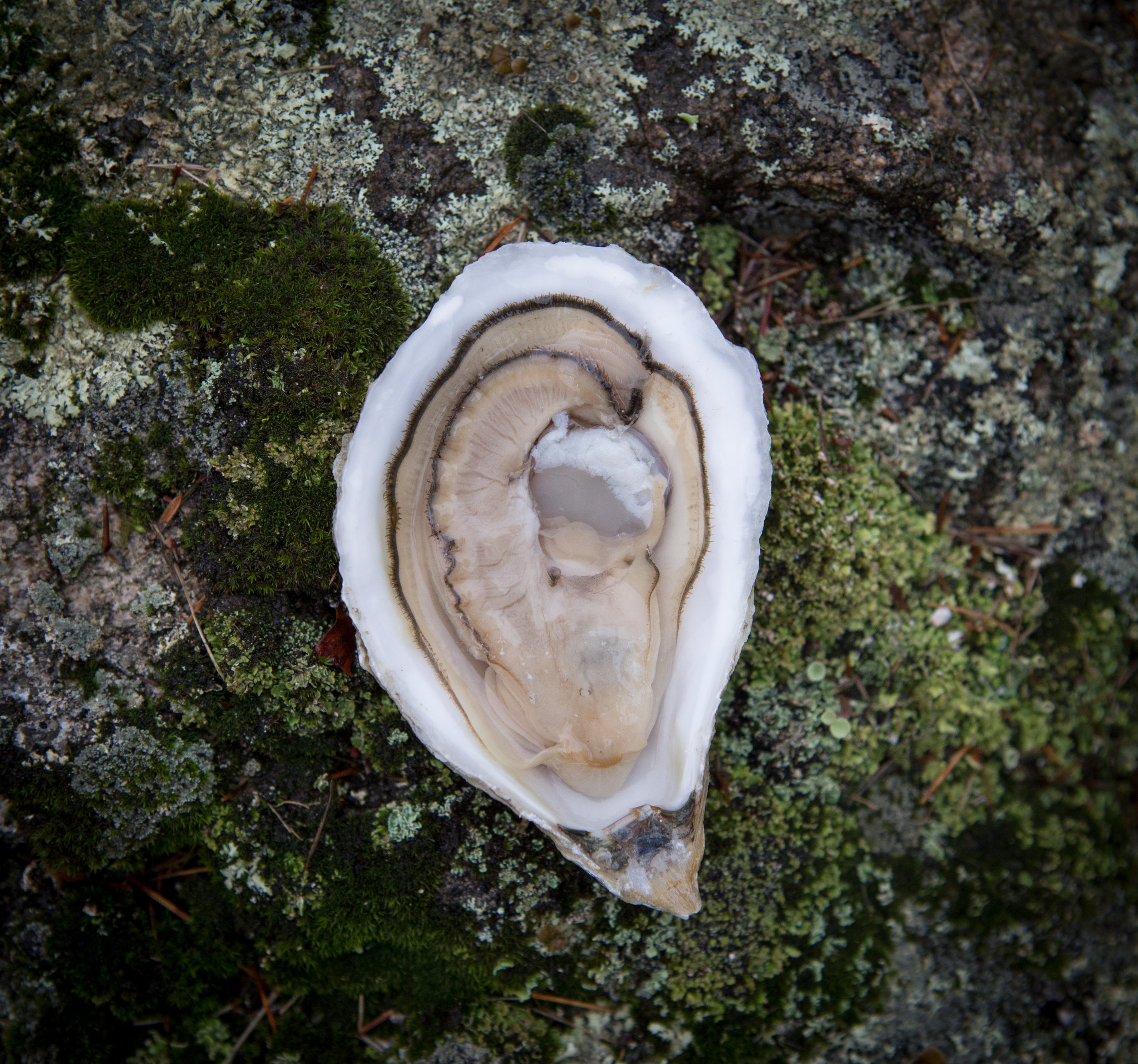 gpo oyster  green moss.jpg