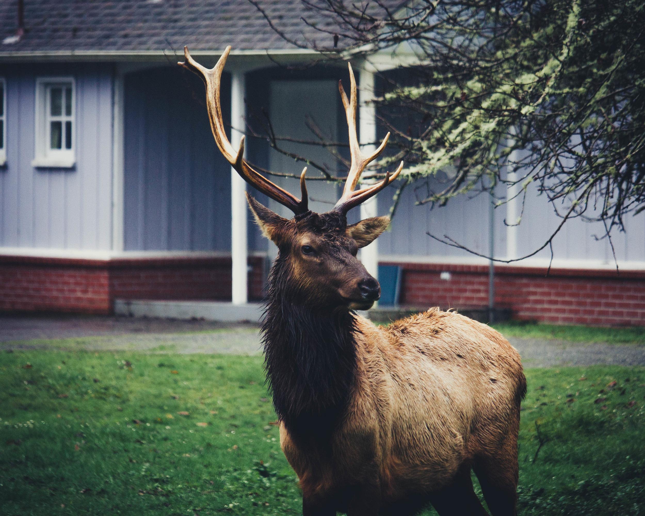 Redwood State Park Wapiti