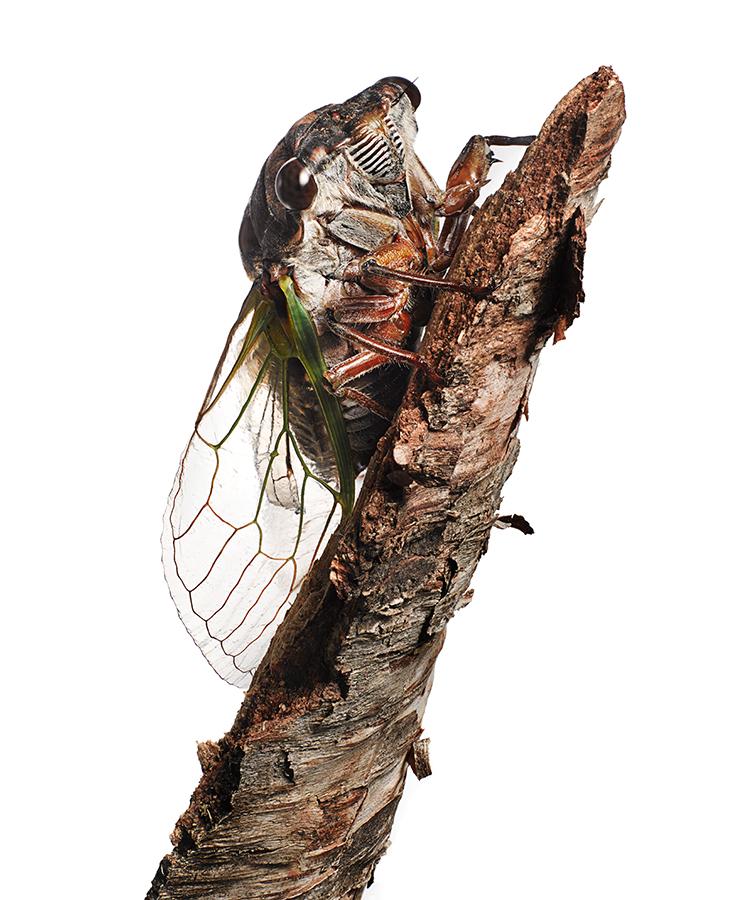 Cicada_1_FF.jpg