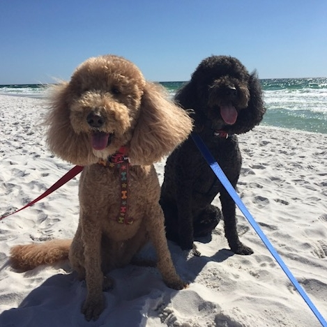 Labradoodle Companions