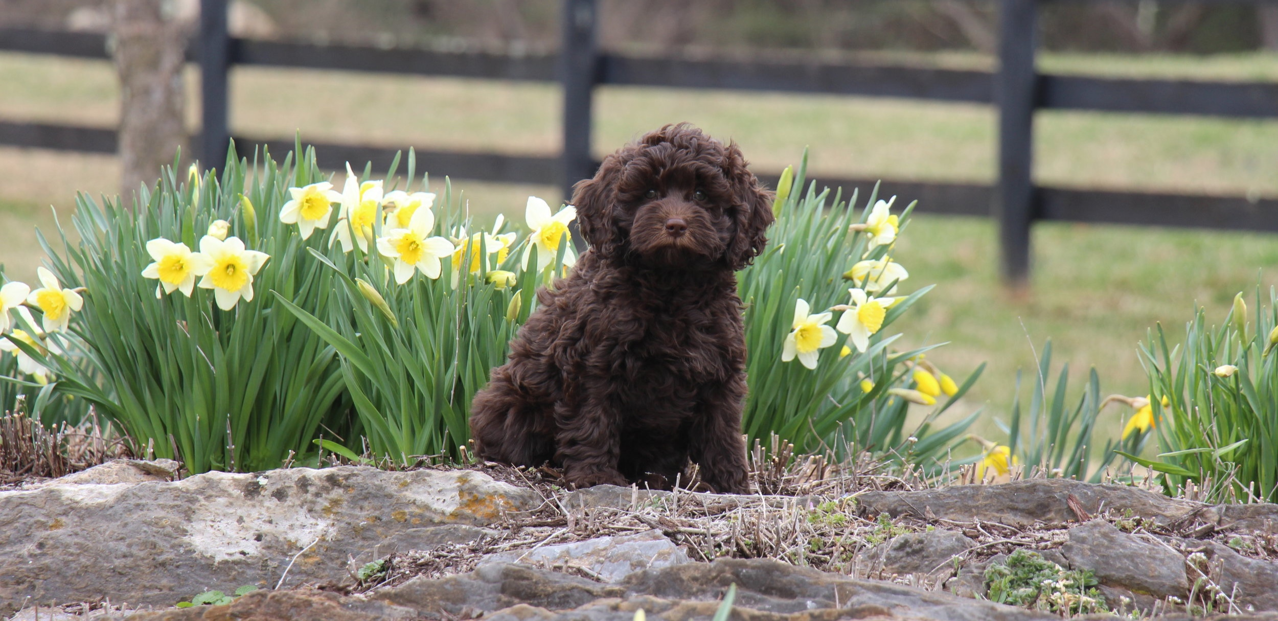 Labradoodle breeder Virginia