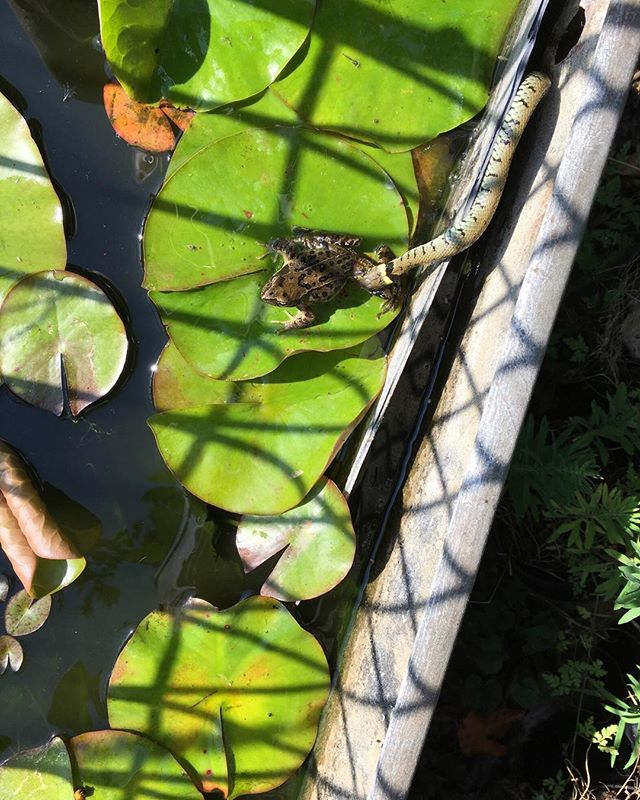 This brave frog got away leaving a very embarrassed grass snake Pictured in my water tank the battle was quite dramatic