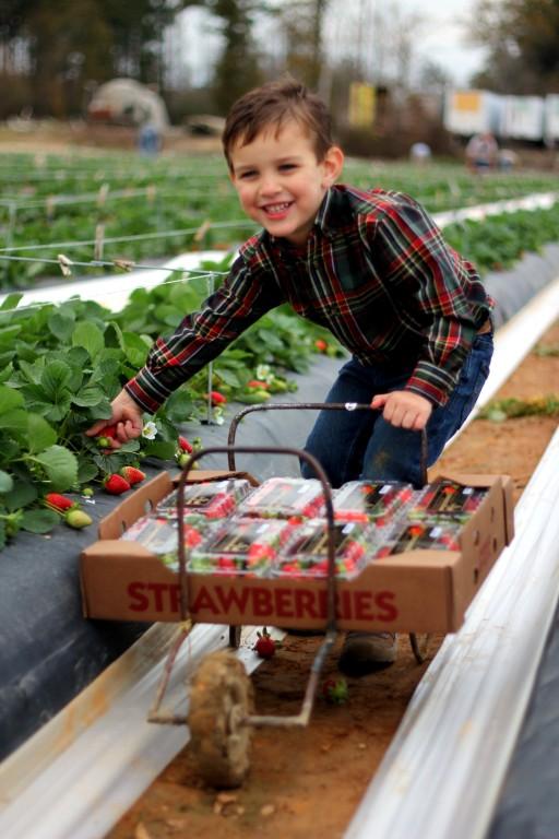 pickingstrawberries.jpg