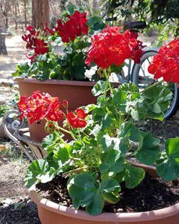 geraniums me.jpg