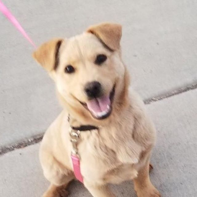 Newest addition to the fam! Rescue Pup - 3 months old - not sure what she is, best guess is either Retriever/Lab mix or Retriever/Shepard mix. What do you guys think? #puppy #retriever #goldenretriever #labradorretriever #labrador #germanshepherd #shepardretrievermix #germanshepherdgoldenretrievermix #rescuedog #airbnb #vrbo #homeaway #vacationrental