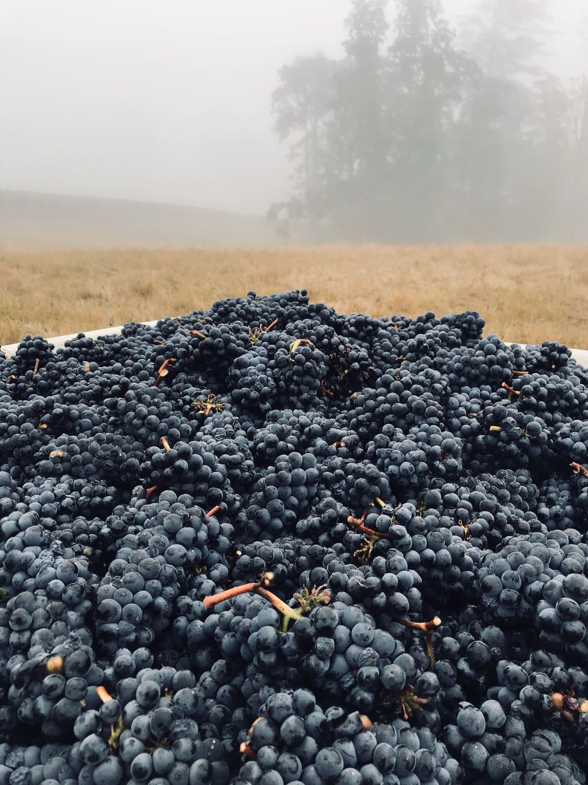 Producing premium Willamette Valley pinot noir and chardonnay grapes -