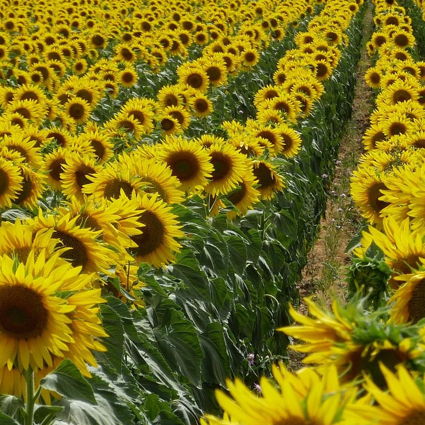 nature-landscapes-fields-flowers-sunflowers-petals-plants-hills-yellow-hd.jpg