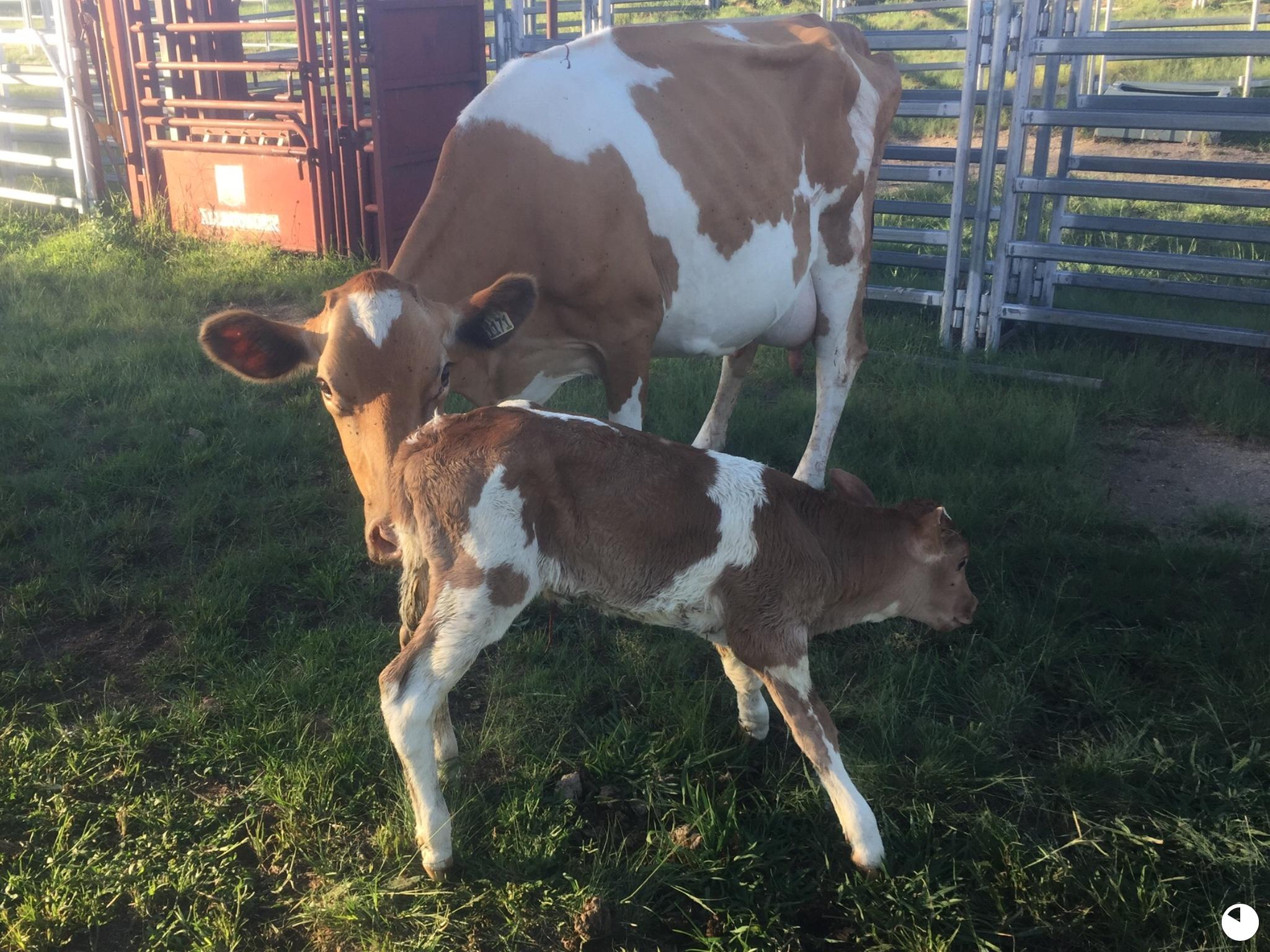 Penny's new calf