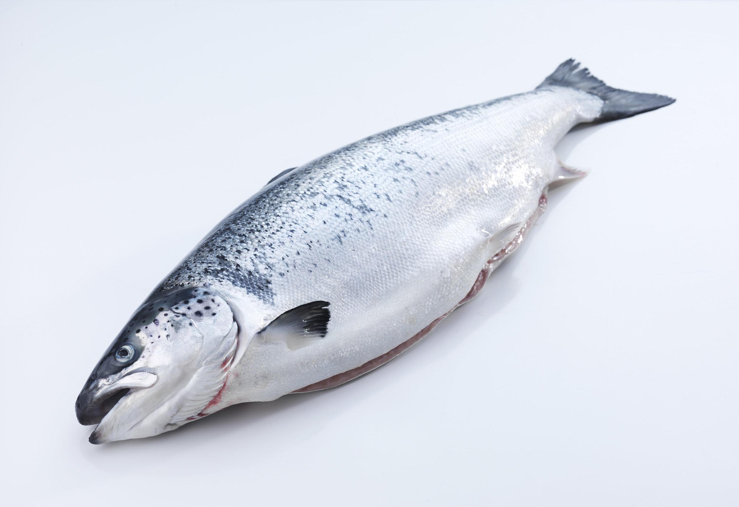 Fresh HOG salmon. Photo: Tom Haga