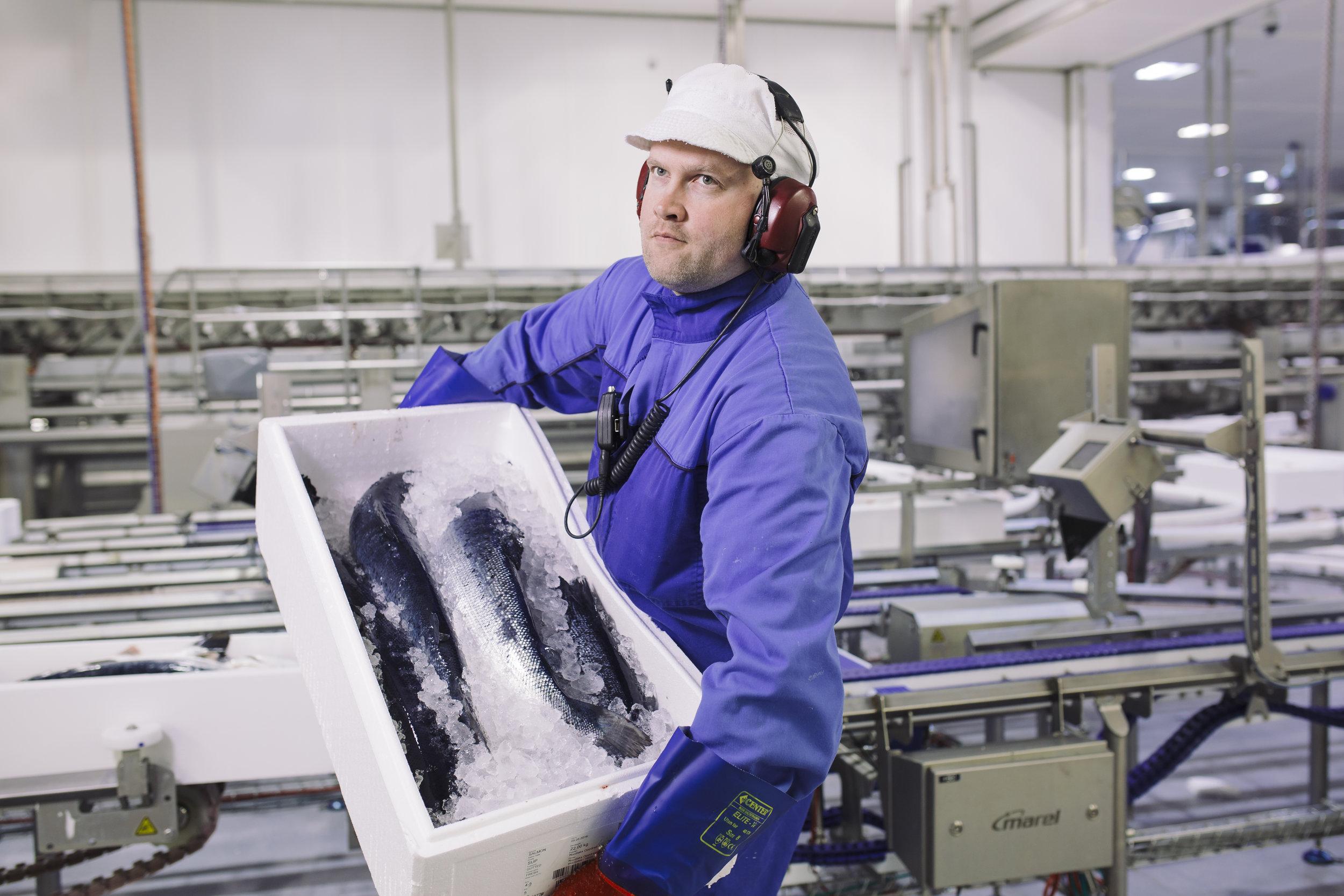 Packing of fresh HOG salmon at Nordlaks Produkter. Photo: Marius Fiskum
