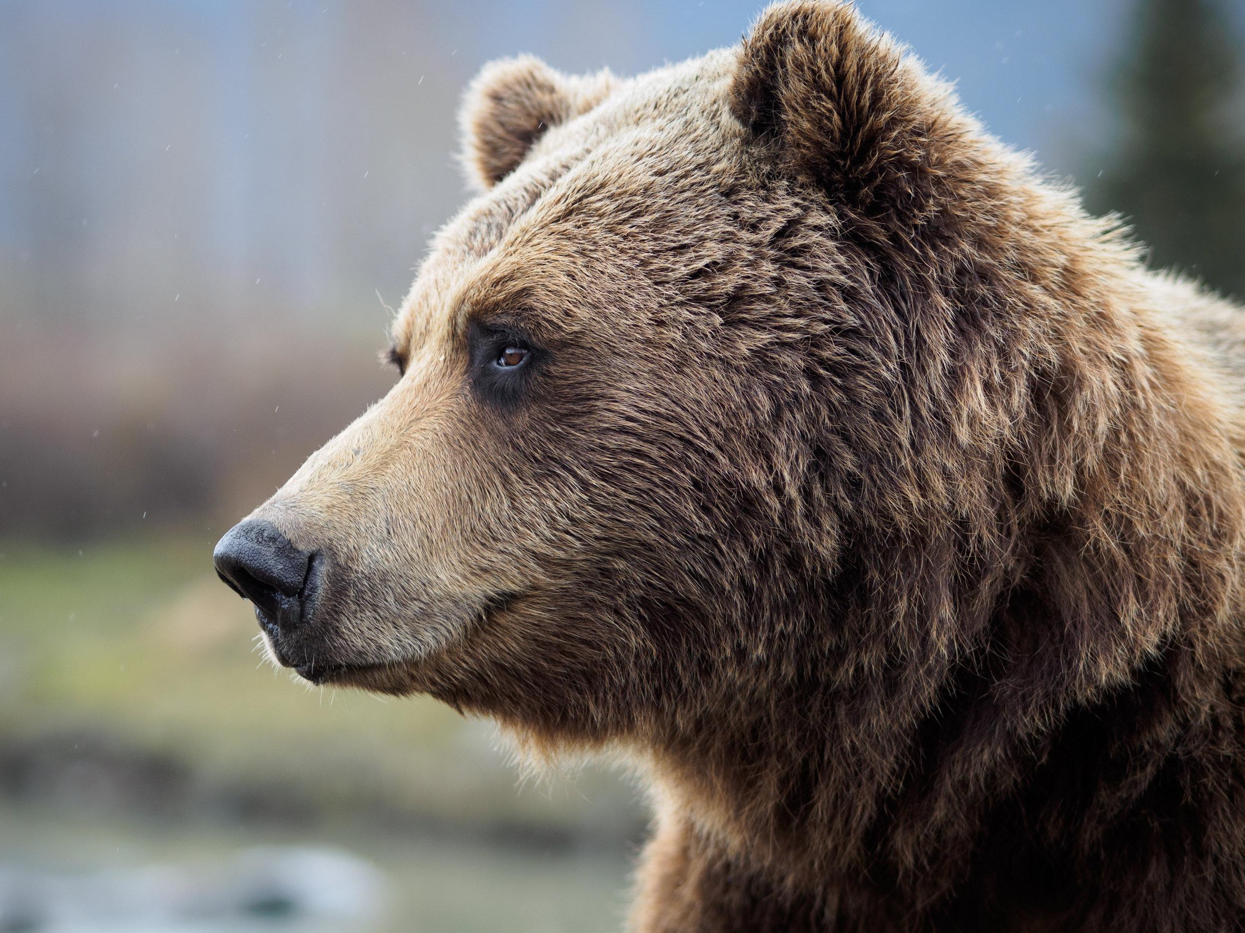Alaska Baer AK 2017-6.jpg