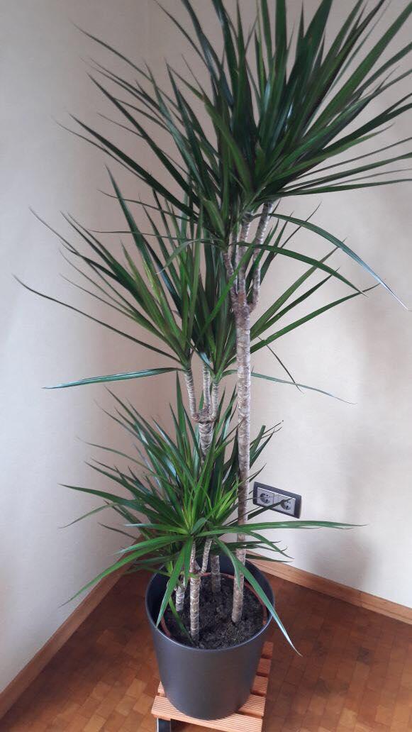 """Hand aufs grüne Herz:  der Drachenbaum gehörte eigentlich zu meiner NoGo-Liste, so wie die Yucca, oder der Benjaminus Ficus. Alles Pflanzen, die in den 90er Jahren überall waren. Dabei ist diese hochstämmige Variante ebenfalls sehr pflegeleicht. Das Wasser wird nämlich im Stamm gespeichert und eignet sich bestens für """"Pflanzenanfänger""""."""