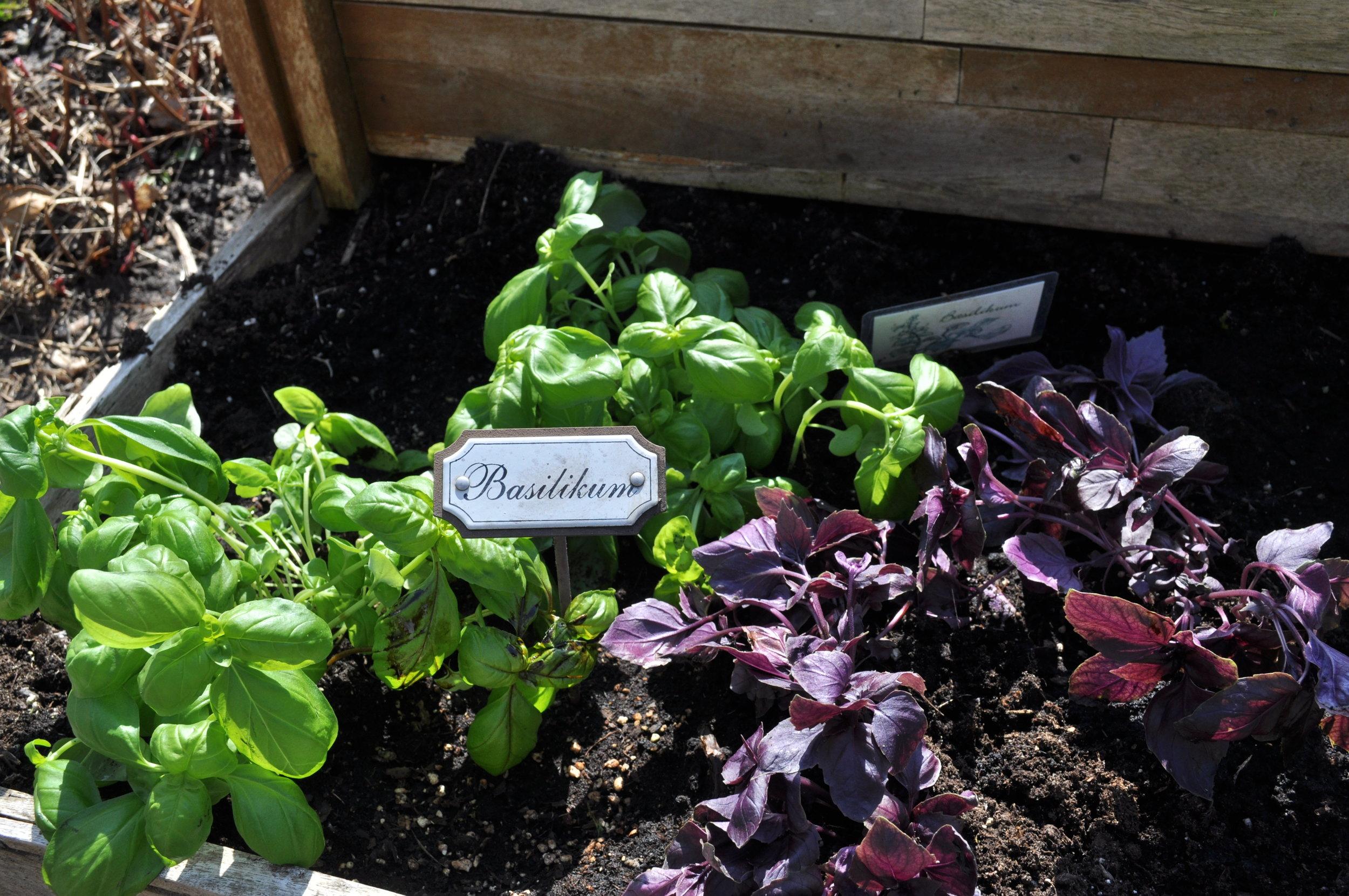 Grüner Basilikum und Roter Basilikum ... nicht nur für Bruschetta, auch für selbstgemachtes Pesto bestens geeignet .