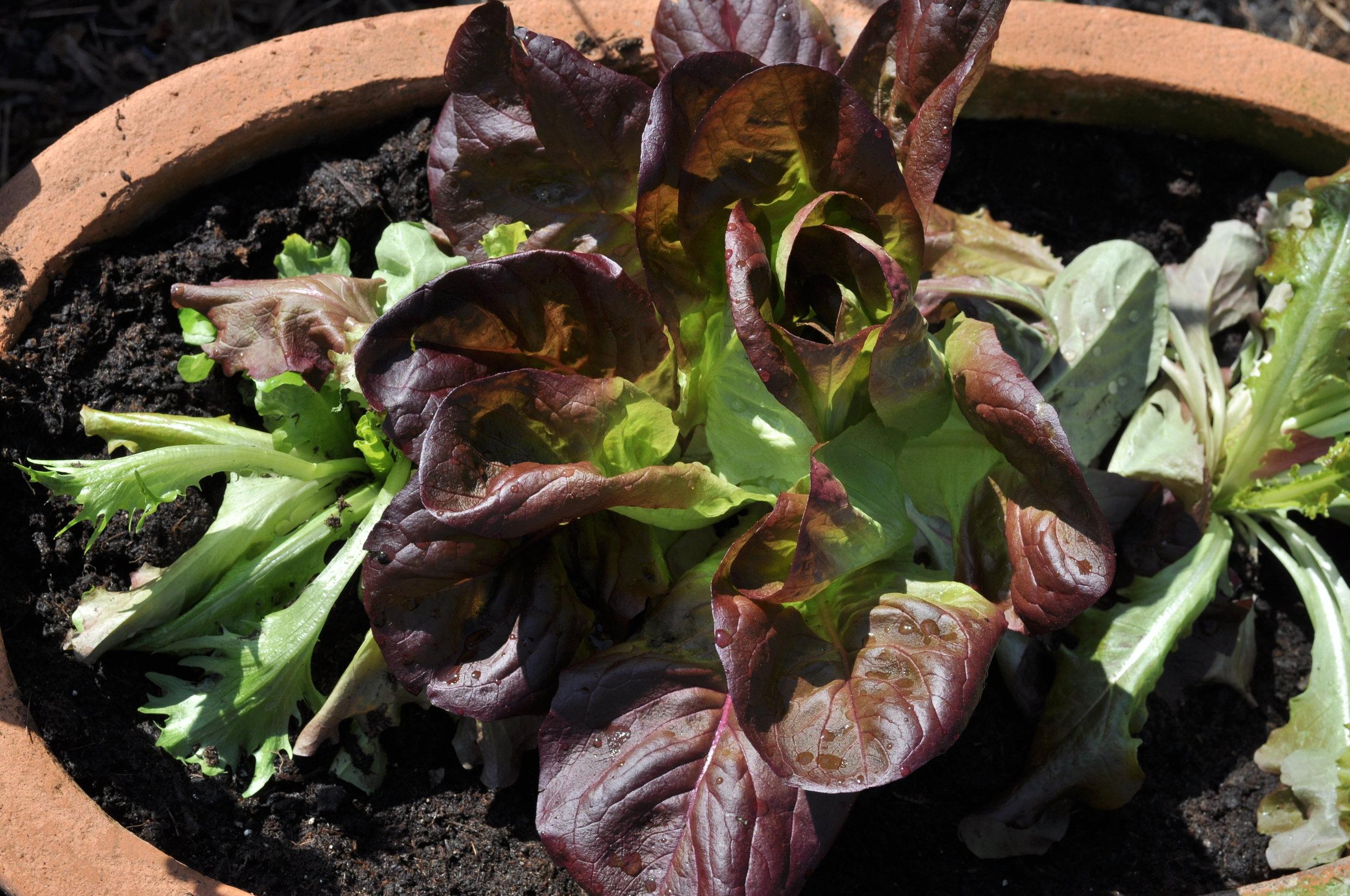 Pflücksalat ist pflegeleicht und im Topf auch für Balkonien geeignet.
