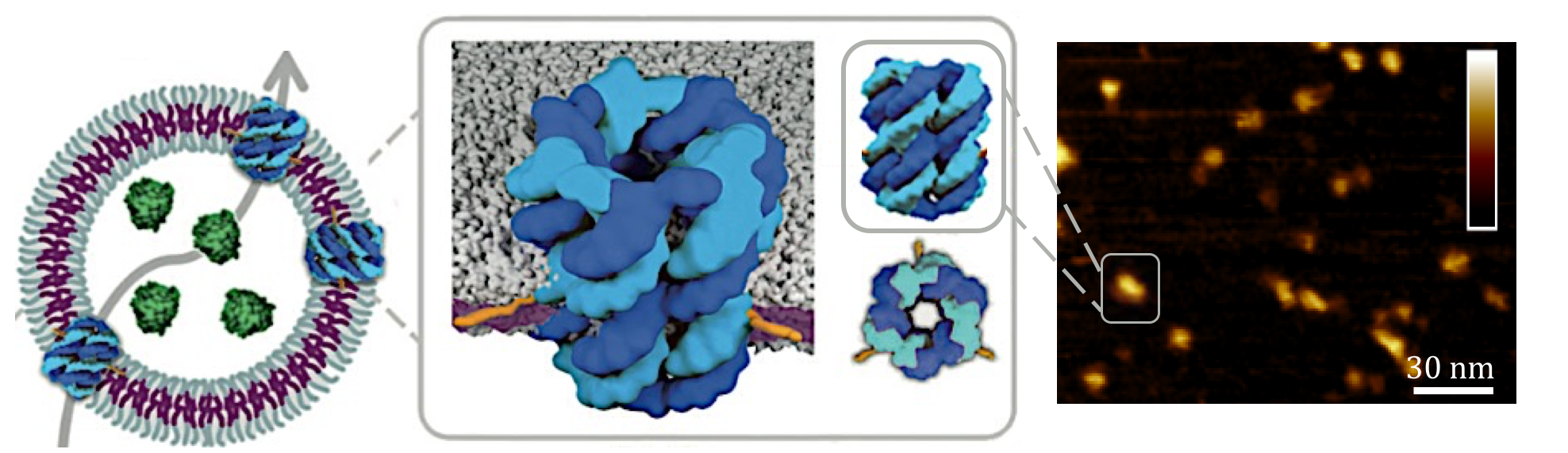 AFM determines the dimensions of   DNA nanopores (blue) embedded within a nanocontainer drug delivery system