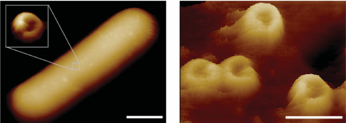 MAC pores imaged on the surface of a live E.  coli  bacterium -  Heesterbeek et al, 2018