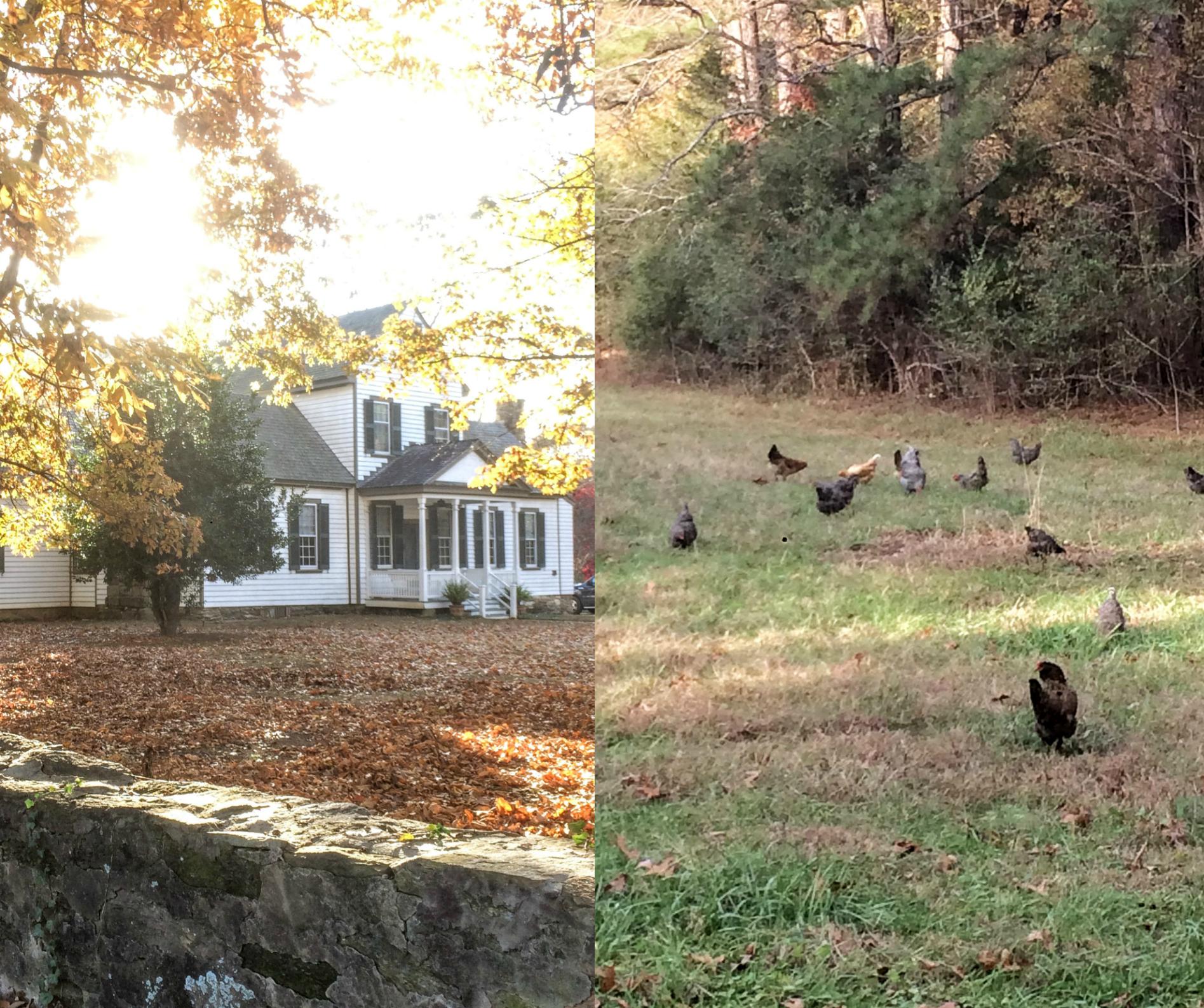 fieldchickens.jpg