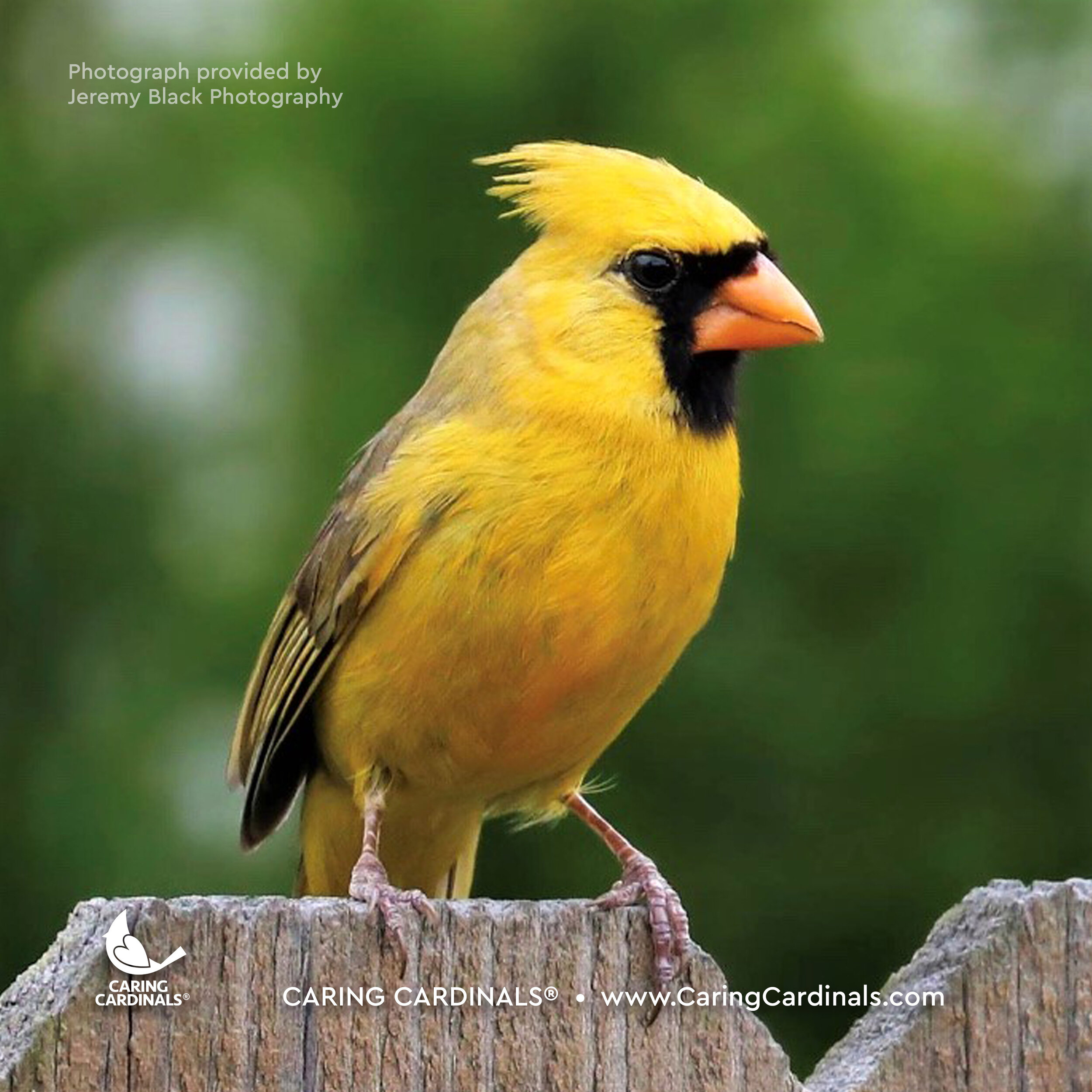 The Yellow Cardinal.jpg
