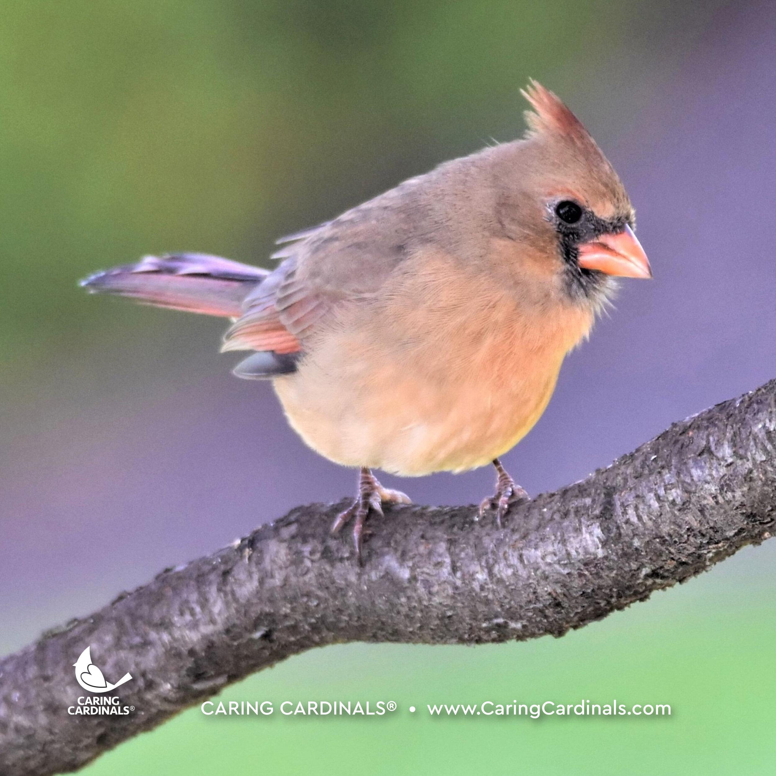Female Northern Cardinal (Fledgling)