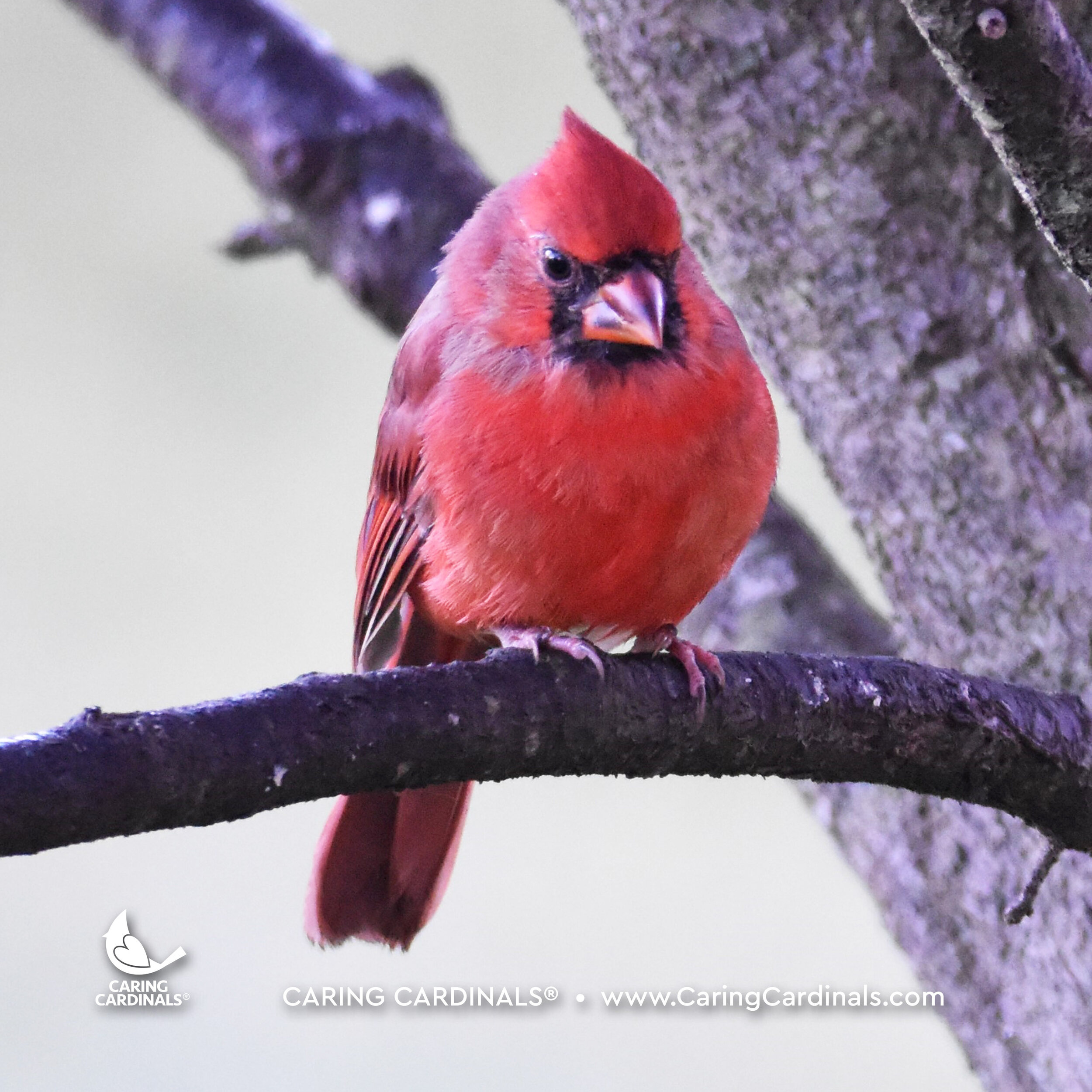 Male Northern Cardinal (Fledgling)