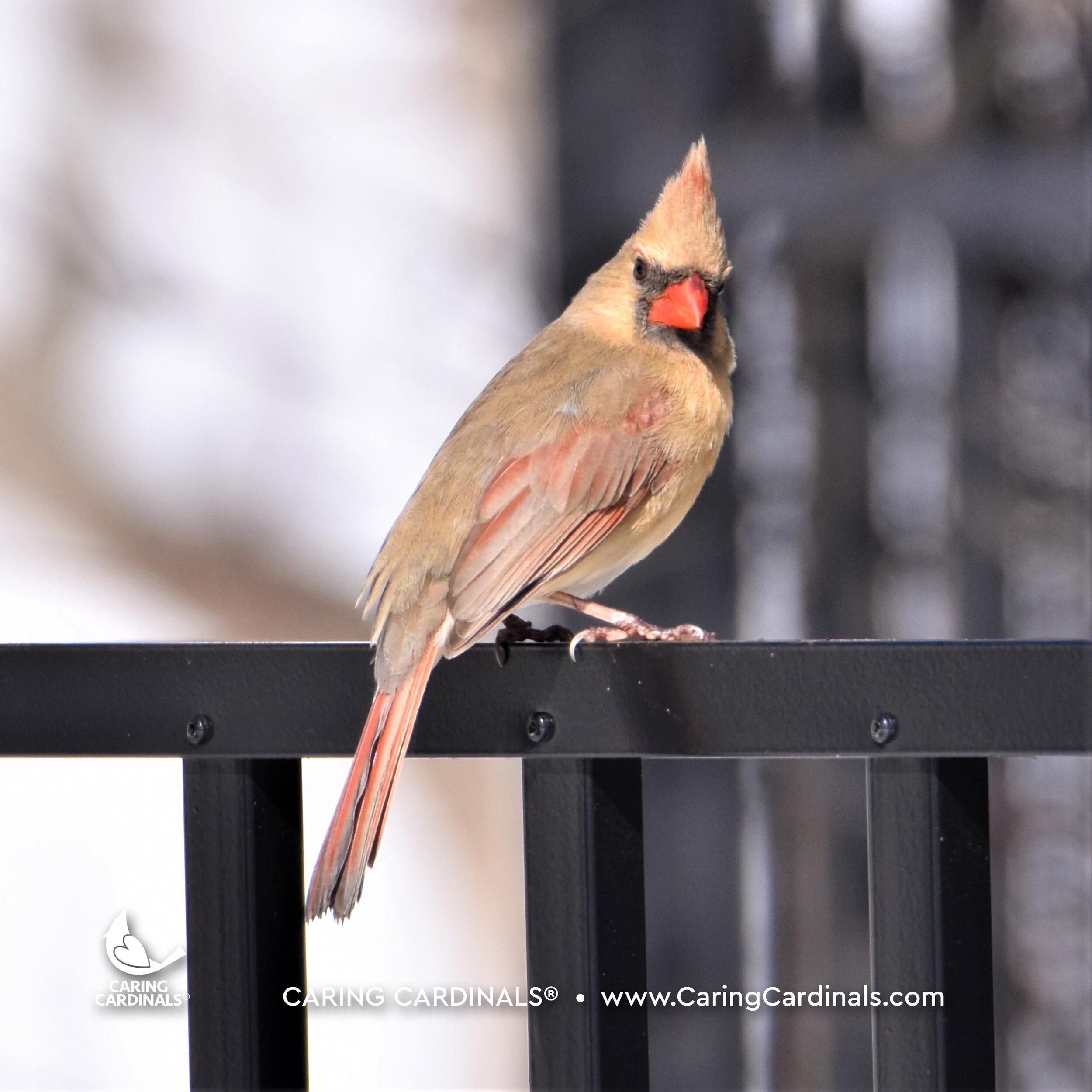 Female Northern Cardinal (Adult)
