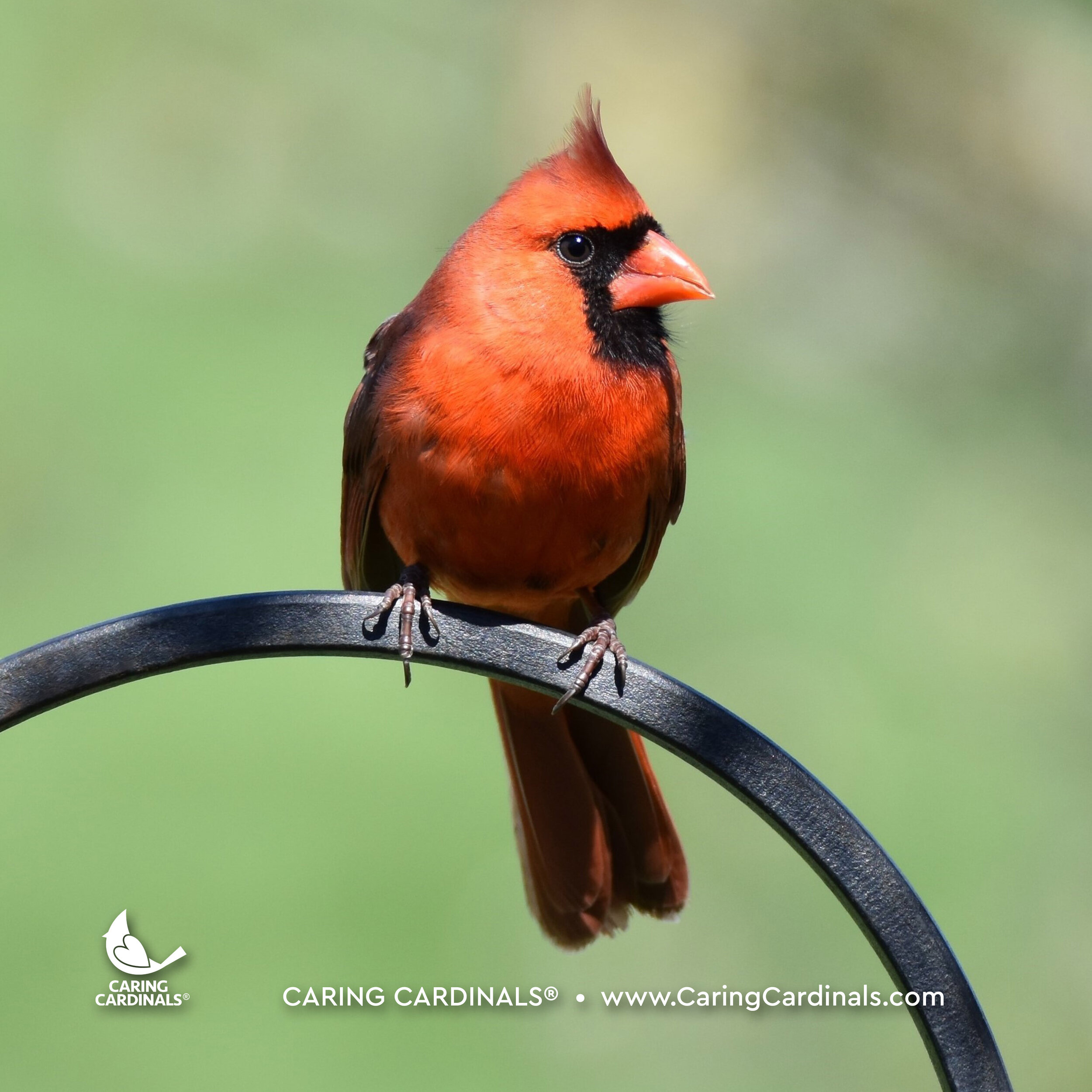 Male Northern Cardinal (Adult)
