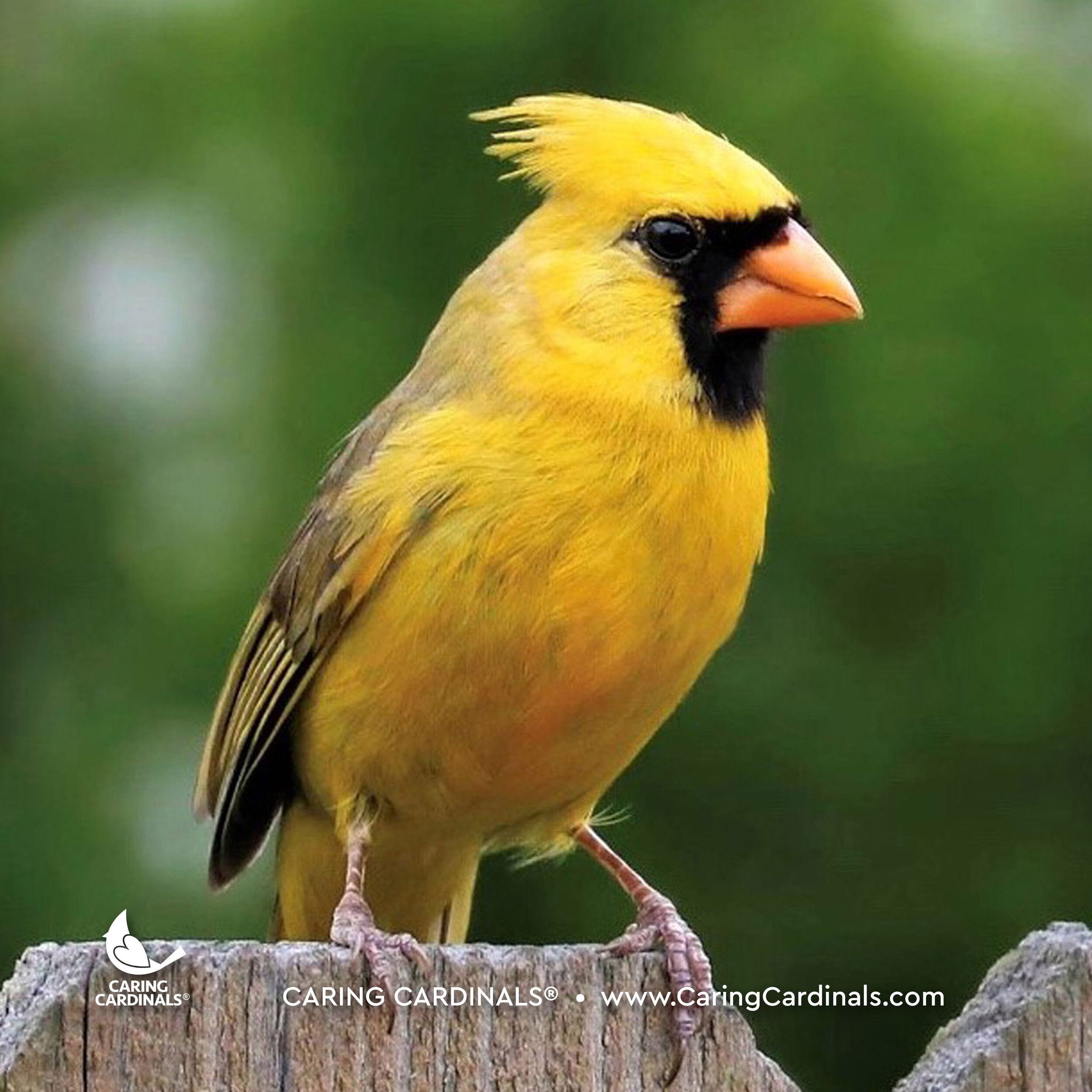 Male Northern Cardinal (Yellow)