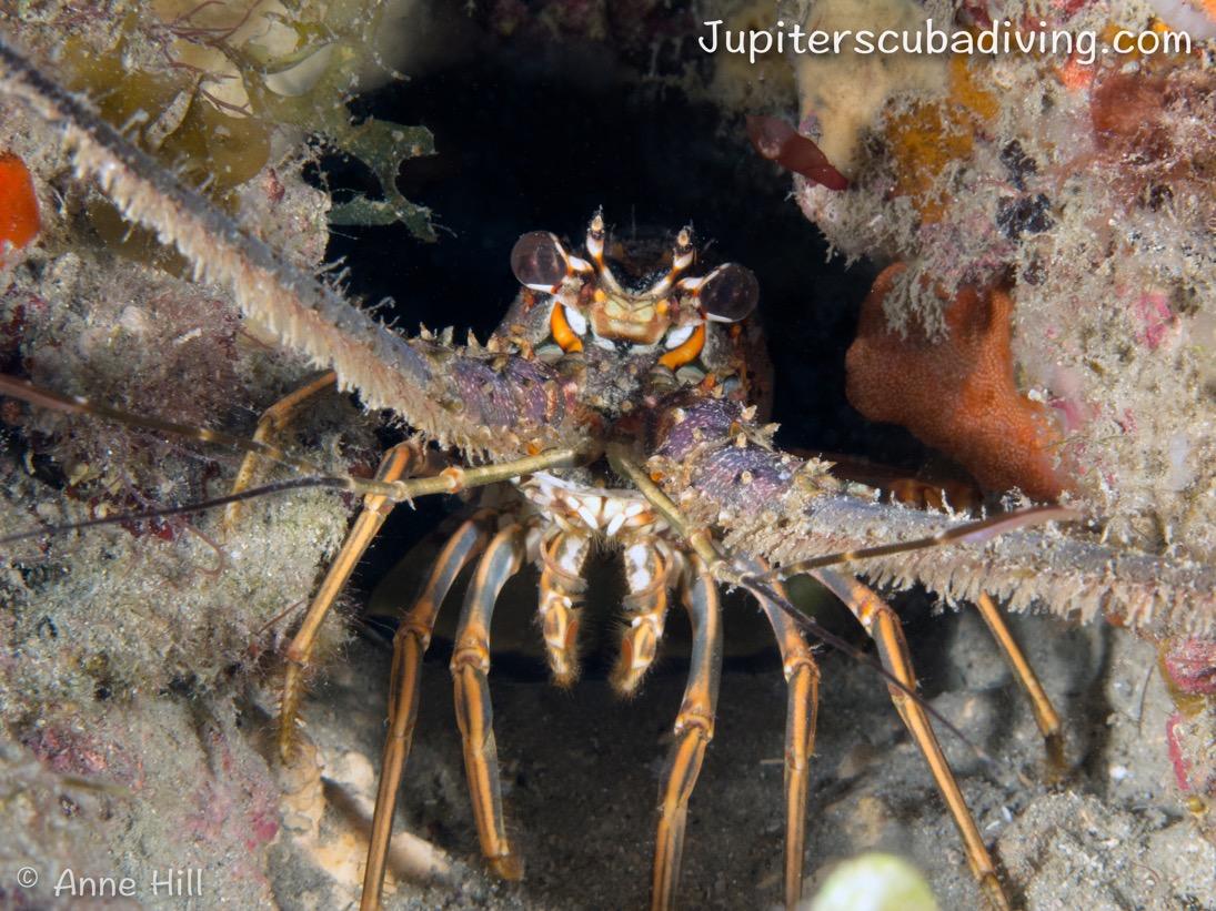 jupsite-lobster.jpeg