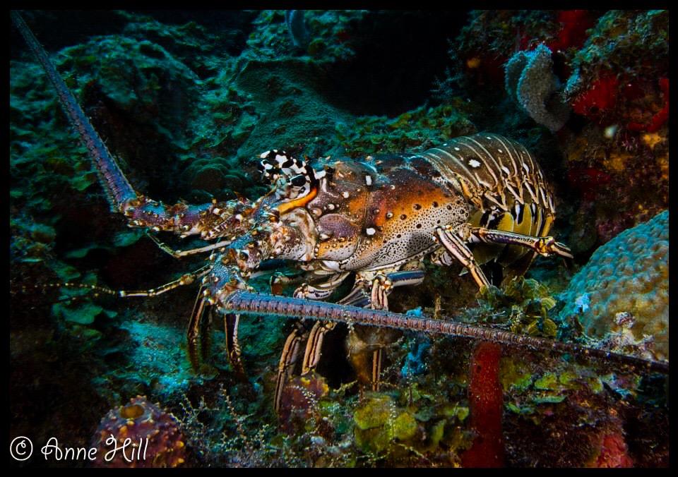 jsd lobster.jpg