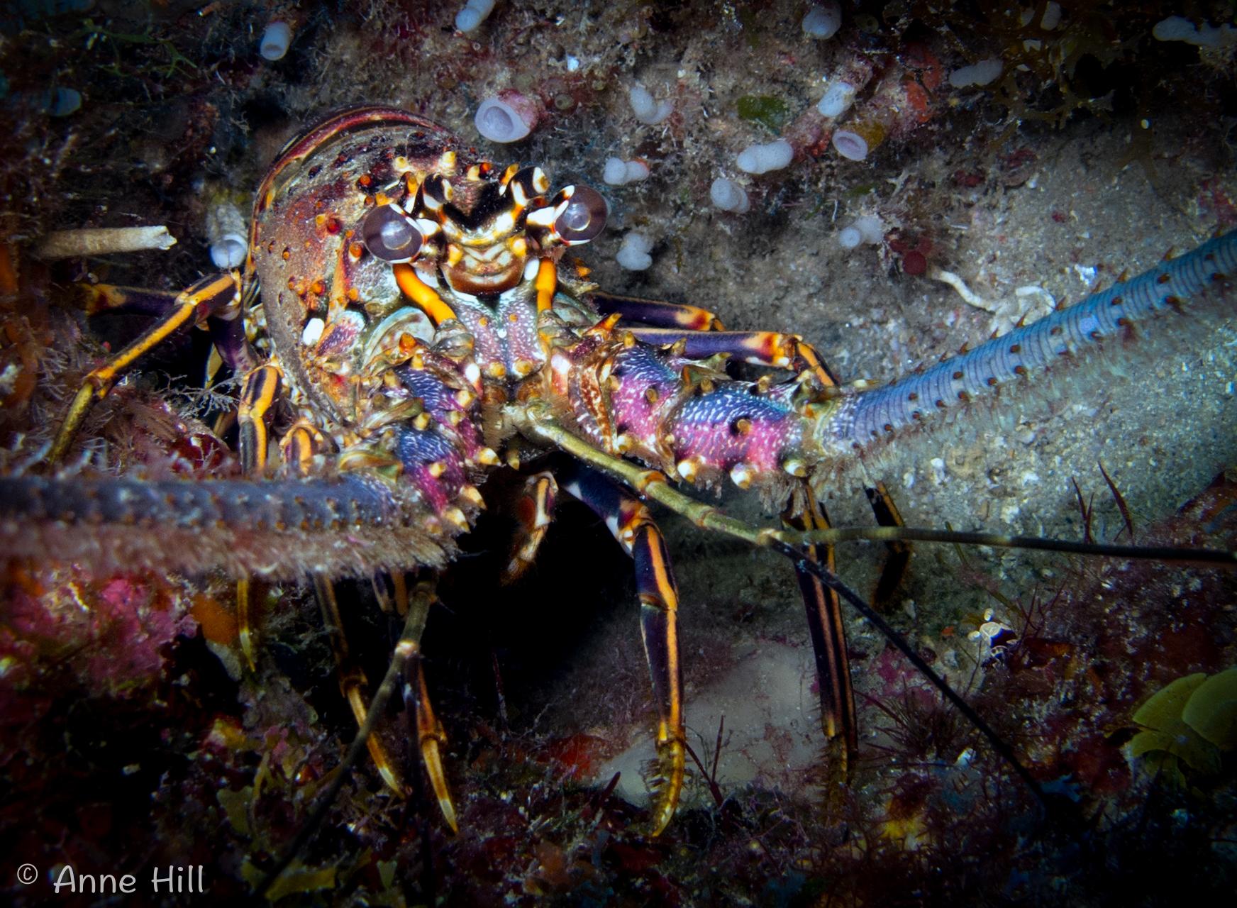lobsta (1 of 1).jpg