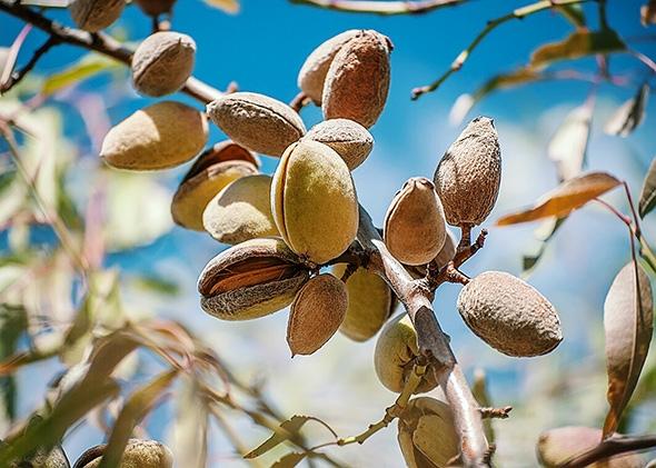 Almond Fact: - It takes 1 gallon of water to grow 1 almond