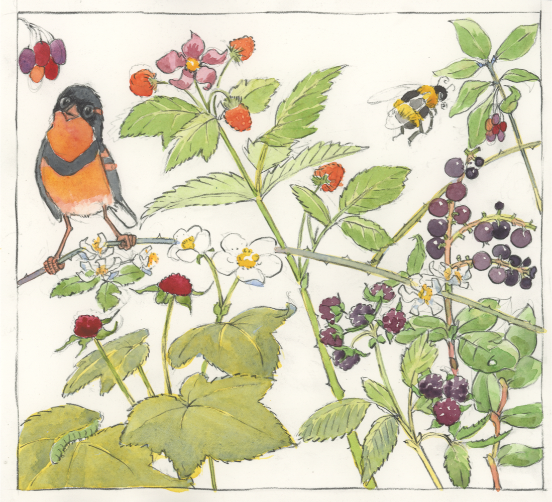 varied thrush and berries copy.png