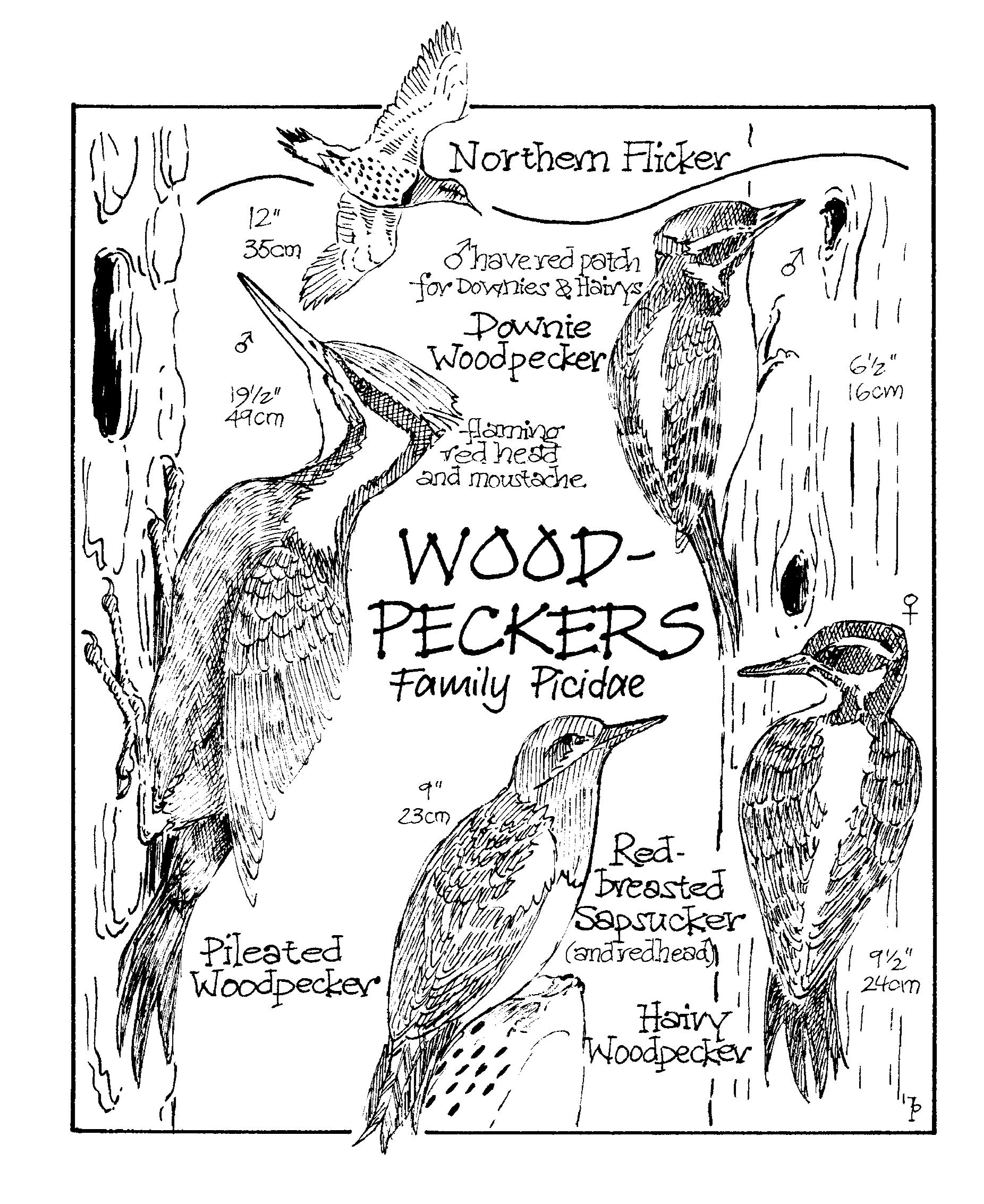 woodpecker copy.png
