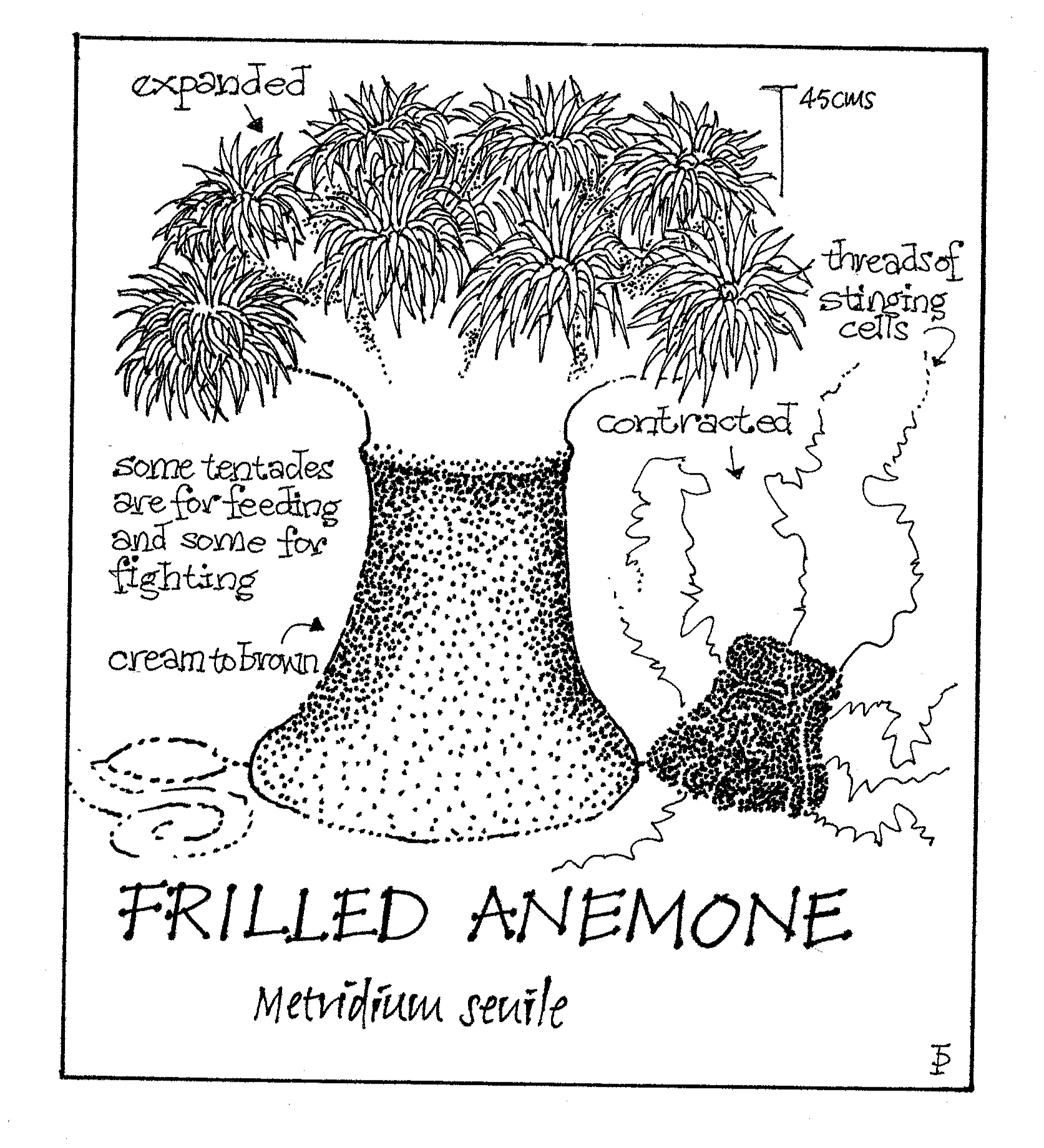 frilled anemone copy.png