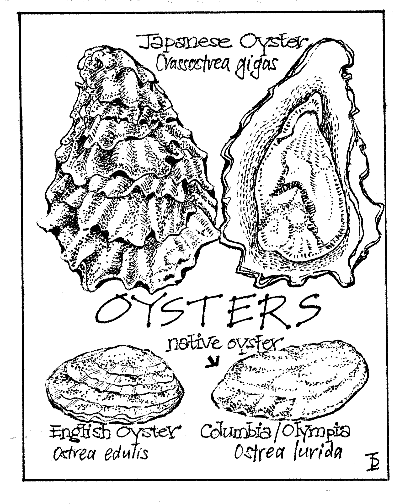 oysters copy.png