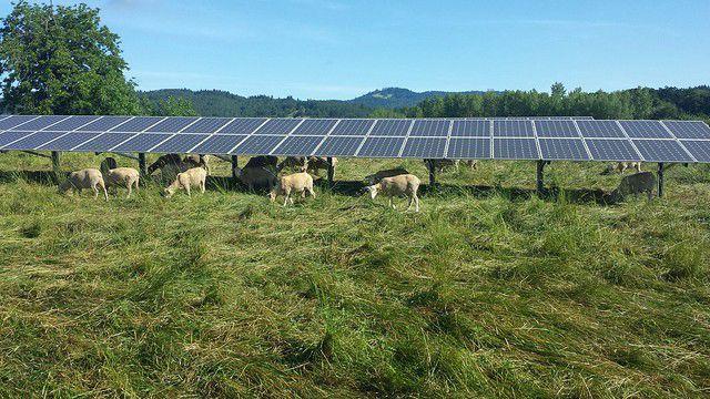 Sheep graze under the 35th Street solar array at Oregon State University  Photo Credit: Mark Floyd, Oregon State University