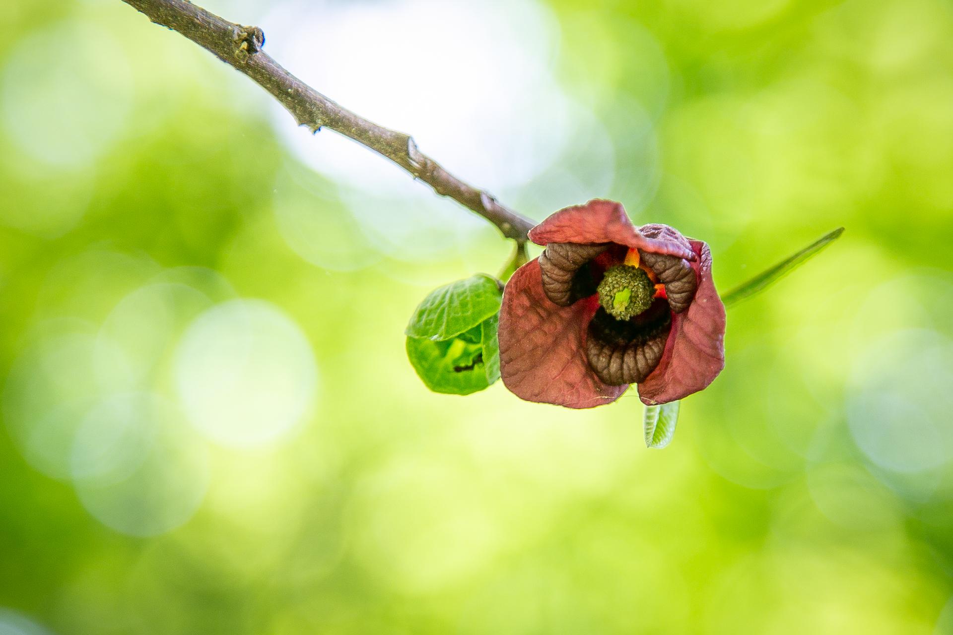 Persimmon Flowers-1.jpg