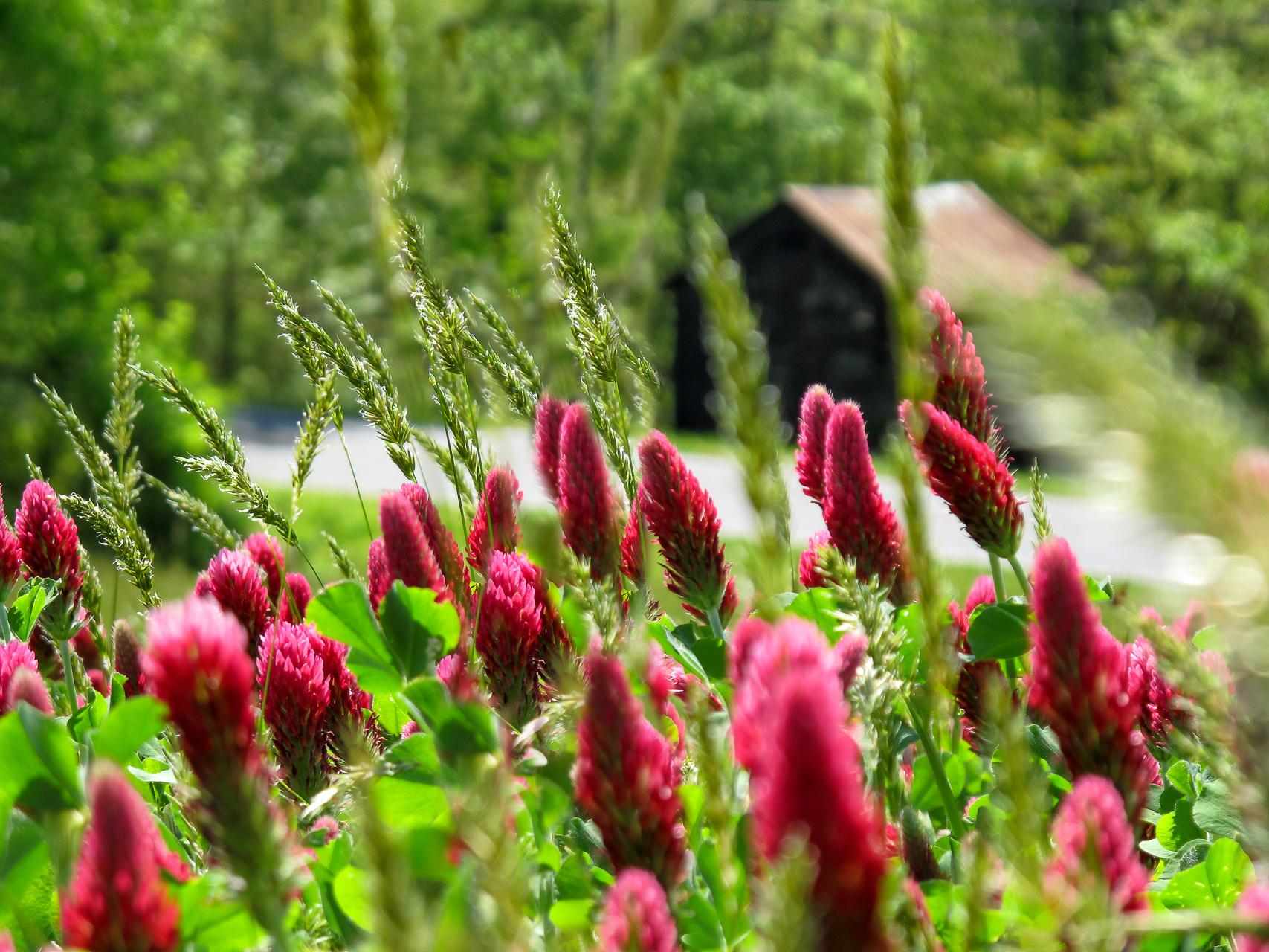 Crimson Clover-1.jpg