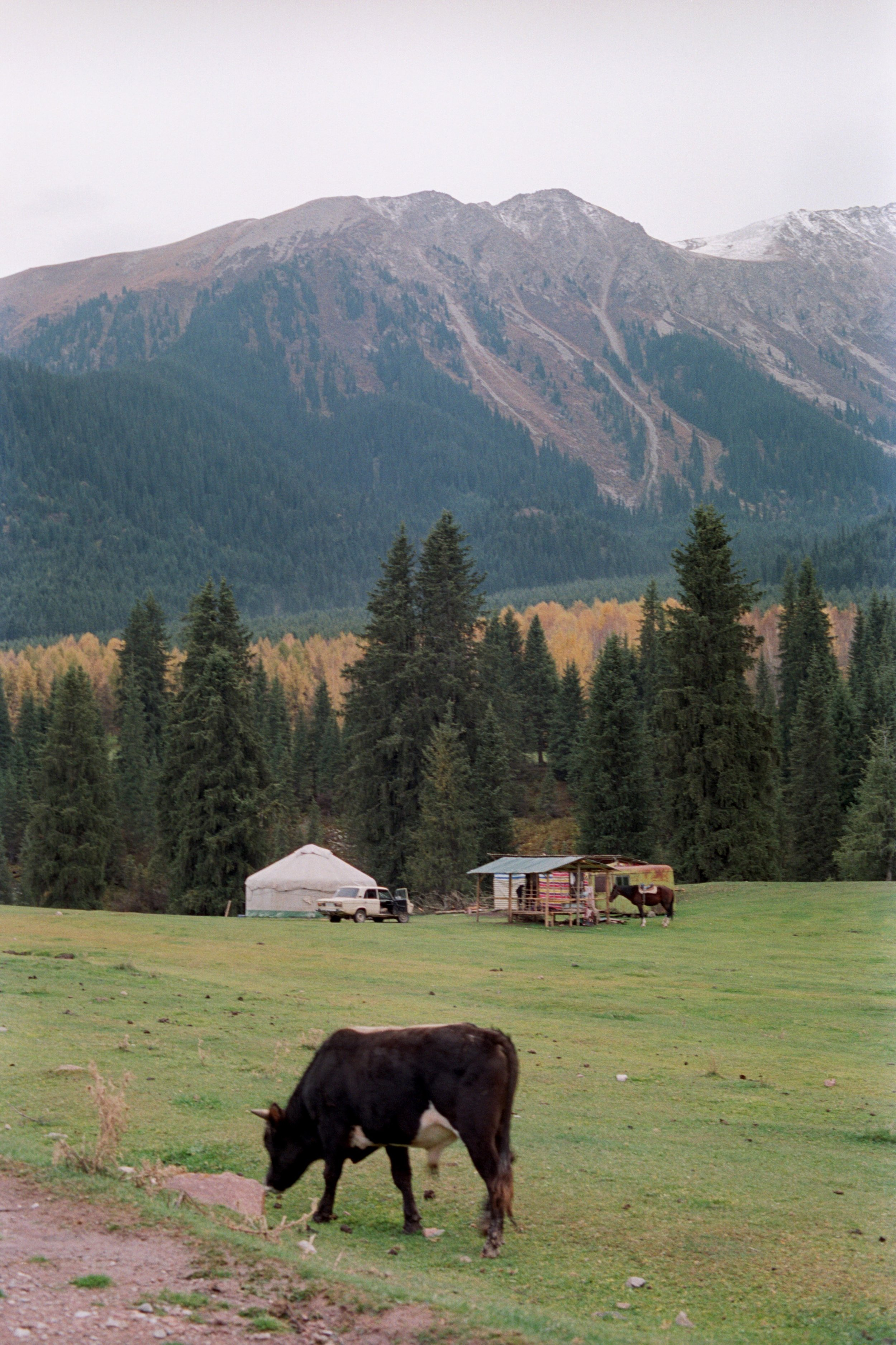 Cattle, yurts, and horses.