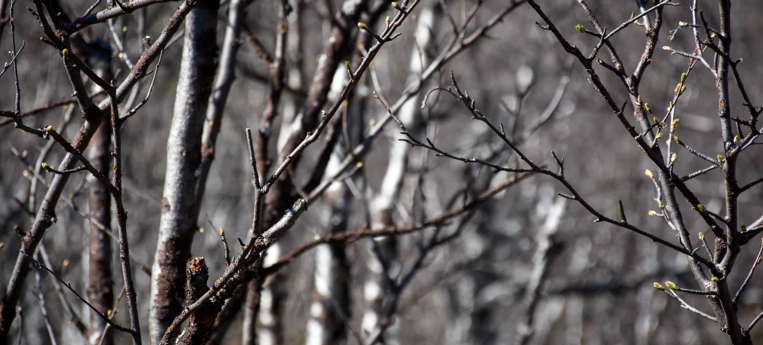 Vaikka etelässä olisi jo kesä alkanut, Lapissa saa vielä odottaa vihreää väriä puihin.