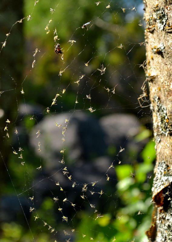 Vinkki valokuvaajille: Hämähäkkejä ja seittejä on niin paljon, että kävellessä kannattaa käyttää linssinsuojusta.