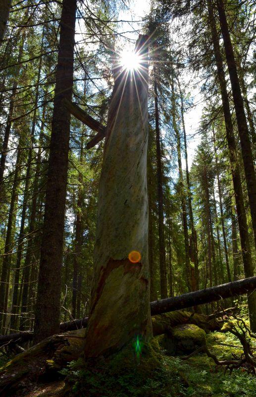 Vanhahko keskikokoinen puu.