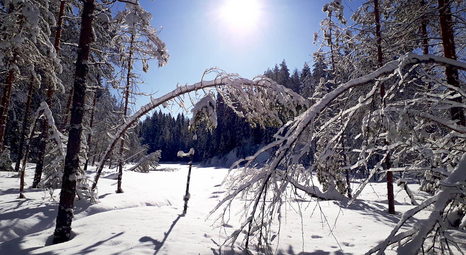 Luminen metsämaisema ja taakasta taipuneet puunrungot.