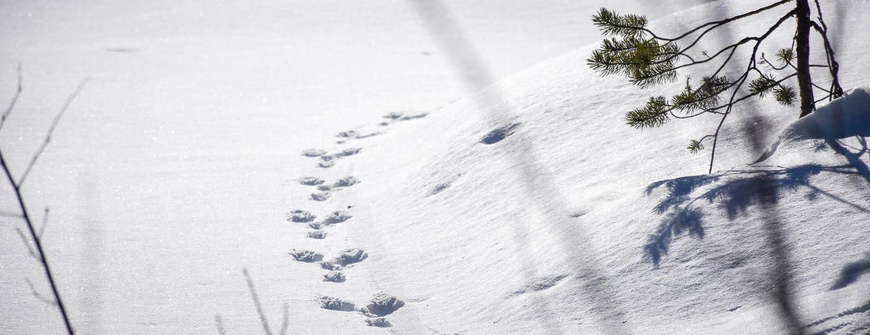Jäniksen jäljet lumihangessa.